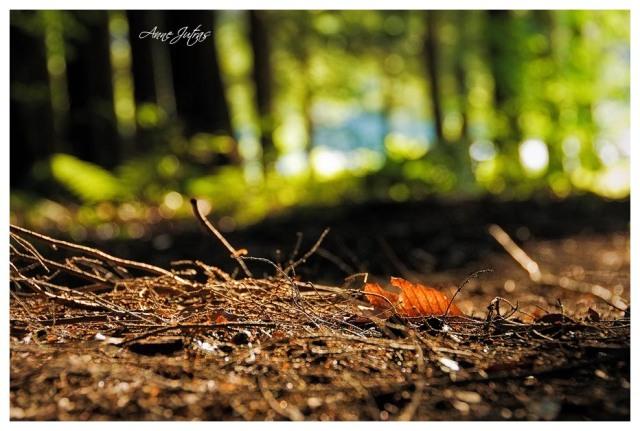 automne, rouge, forêt, québec, canada, estrie, anne jutras
